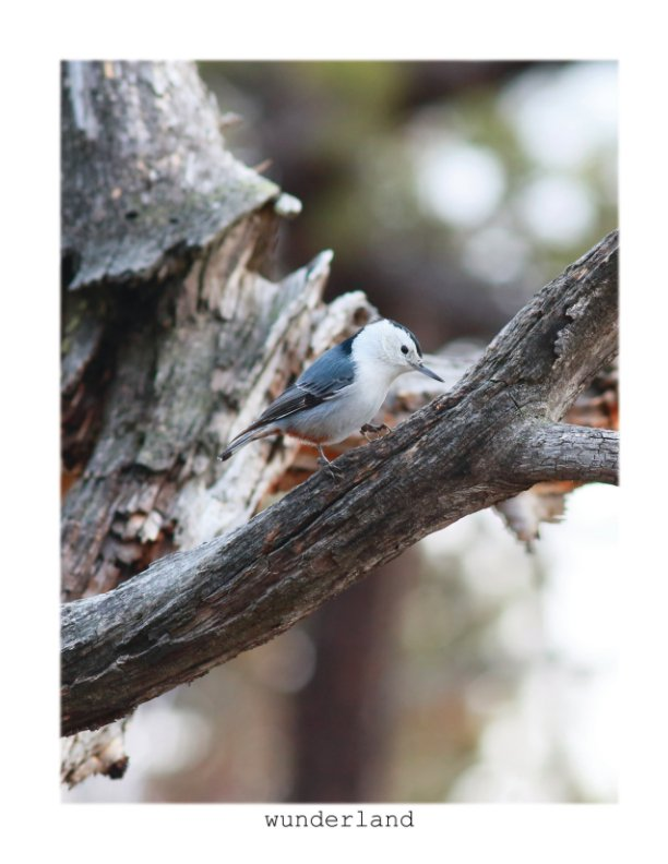 View The White-Breasted Nuthatch by Jordan Wunderlich