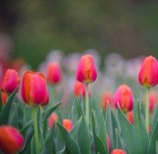 Ottawa Tulips book cover