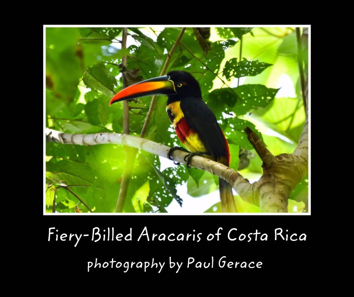 View Fiery-Billed Aracaris of Costa Rica        photography by Paul Gerace by Paul Gerace