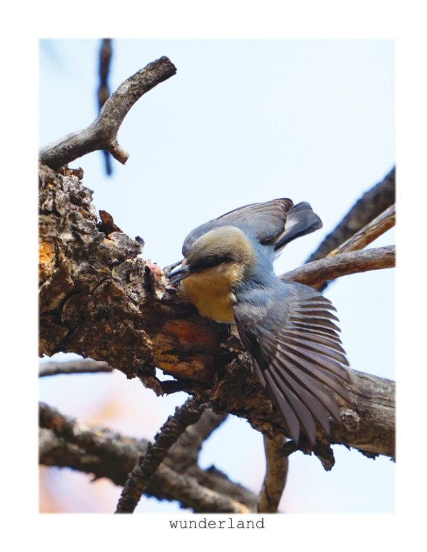 View Pygmy Nuthatches by Jordan Wunderlich