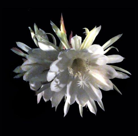 View Cereus by Sandra Lynn Sparks