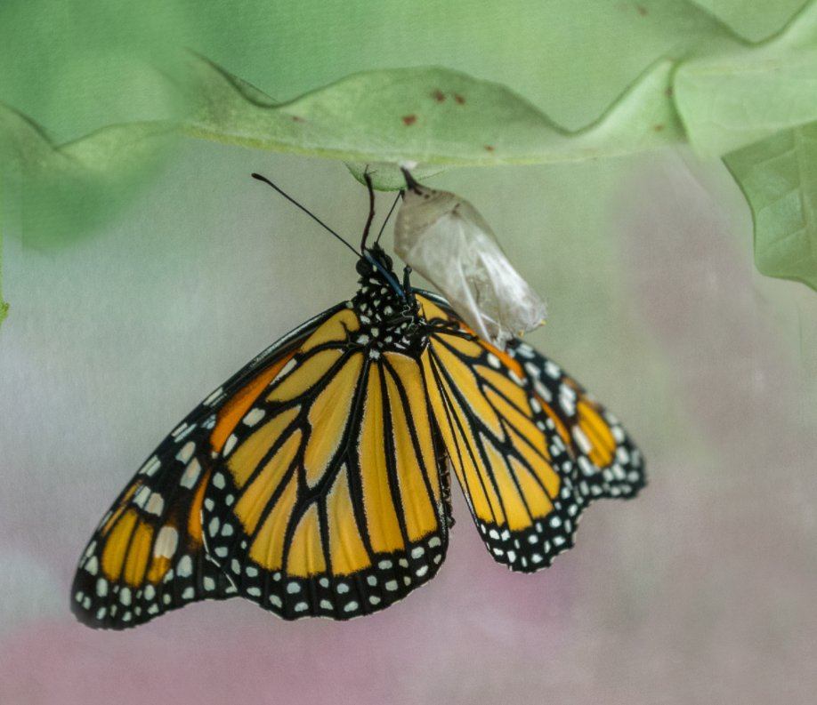 View The Monarch and the Milkweed by helga skinner