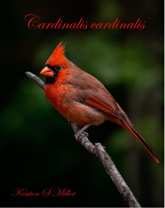 View Cardinalis cardinalis by Kenton S. Miller